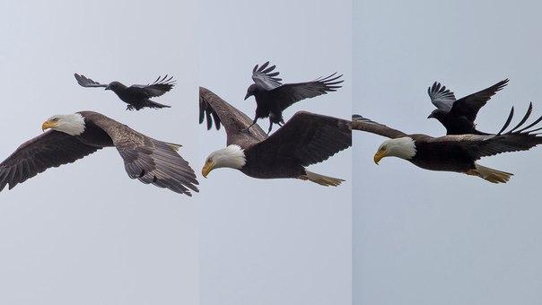 Фотограф сделал фотографию ворона, л